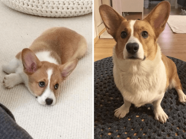 This corgi who still doesn't really fit into those pointy ears.