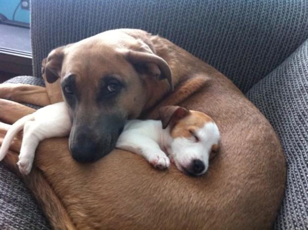 Big dogs make excellent beds.