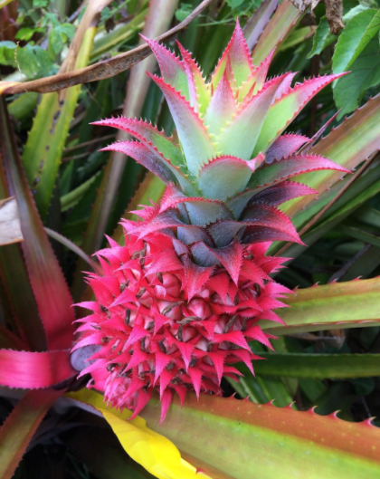 PINK PINEAPPLES EXIST NOW!!!