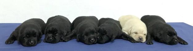 6匹は生後1カ月ほど。今回、彼らが入隊したのは新北市警察の警察犬チーム。