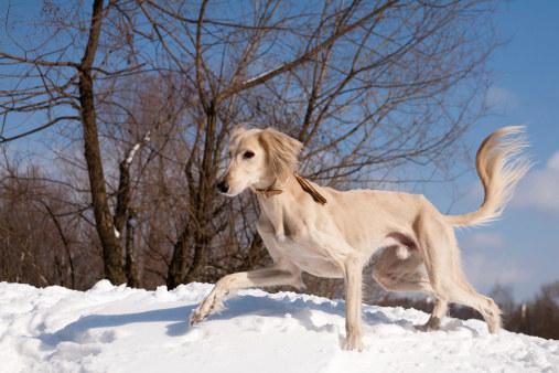 Некоторые историки идентифицируют салюки как отдельную породу собак уже в 329 году до нашей эры в Египте. Для некоторой перспективы это было примерно в то же самое время, когда Александр Великий вторгся в Индию. Это сделало бы салуки более 2000 лет.