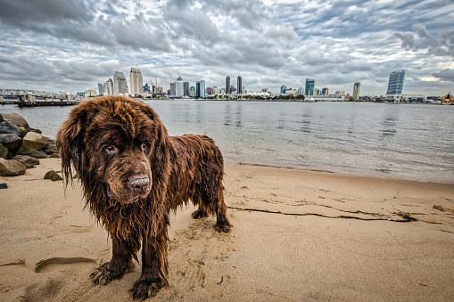 Породы, которые, как правило, делают много работы в воде, например, в Ньюфаундленде и португальской водяной собаке, специально модифицировали перепончатые ноги, чтобы помочь им плавать лучше.