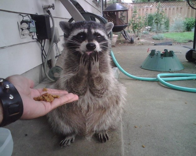 This raccoon that would be perfect to throw a surprise birthday for.