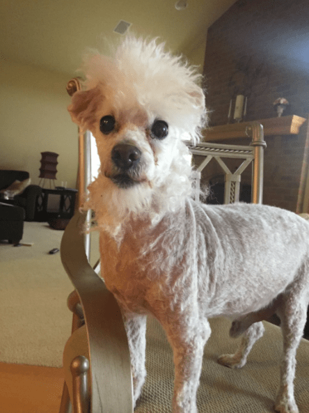 17 Adorable Dogs That Came Out Of The Groomer Not Looking