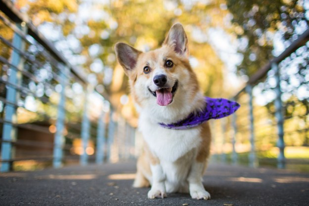 Like, what are people even into about corgis? Is it that they have short legs?
