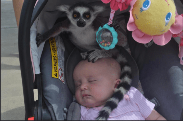 The mom who — while at the zoo — looked over at her baby and saw an escaped lemur atop her head.
