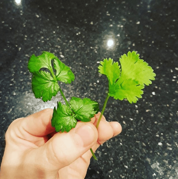 That this divisive herb is called cilantro.