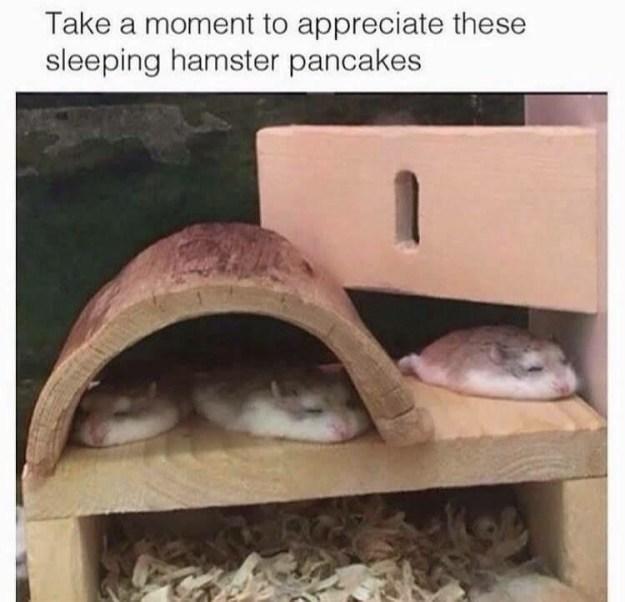 Hamster pancakes exist: