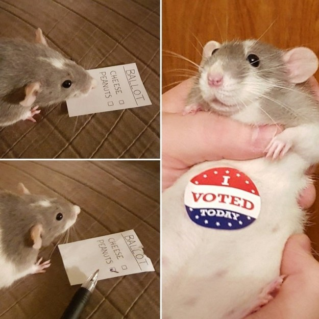 And did you know rats actually care a lot about democracy? Because they do: