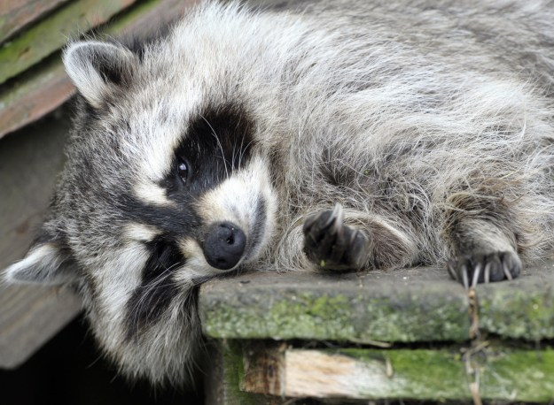 An Indiana woman brought her pet raccoon to a fire station early Friday because she was afraid that it had overdosed on marijuana, officials said.