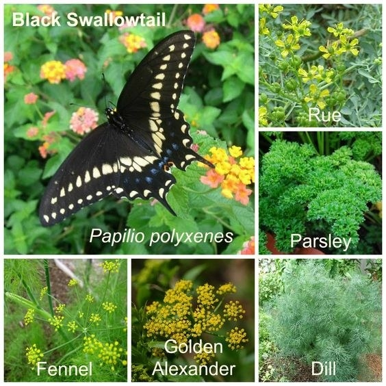 Parsley, dill, and bronze fennel are great for swallow tails while roses and mulberries are great for mourning cloaks.