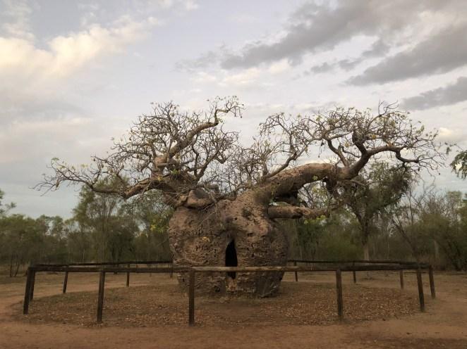 The Boab Prison Tree.