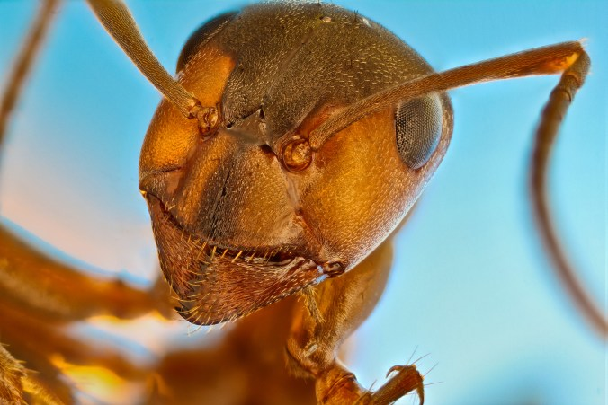 A red forest ant (Formica rufa), 5X objective lens magnification