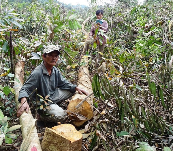Trees, chopped down, Phu Yen, forest land, Vietnam economy, Vietnamnet bridge, English news about Vietnam, Vietnam news, news about Vietnam, English news, Vietnamnet news, latest news on Vietnam, Vietnam