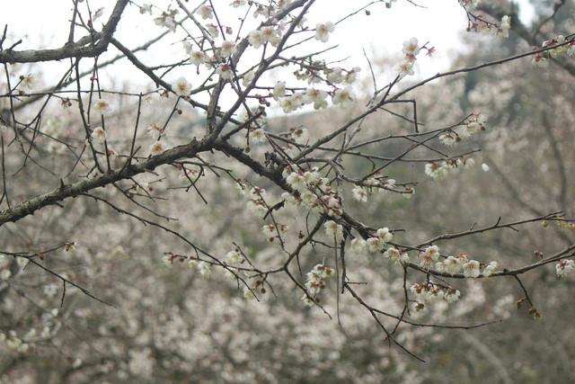Moc Chau: Lost in paradise of white apricot flowers, travel news, Vietnam guide, Vietnam airlines, Vietnam tour, tour Vietnam, Hanoi, ho chi minh city, Saigon, travelling to Vietnam, Vietnam travelling, Vietnam travel, vn news
