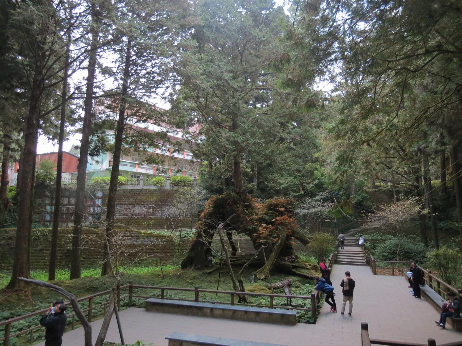 阿里山國家風景區, 三代木