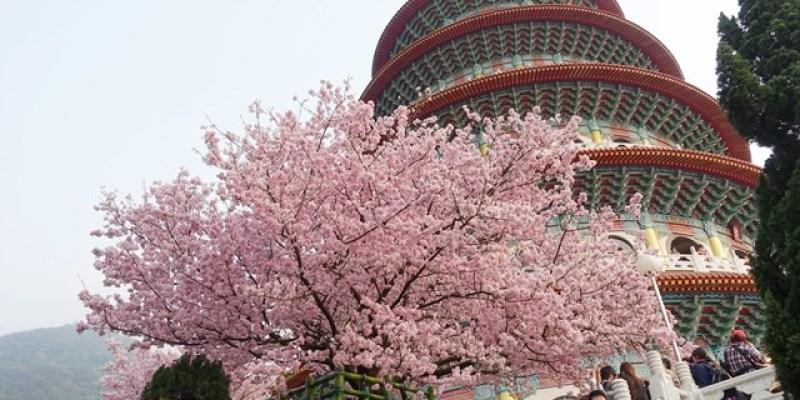 ▌2015天元宮賞櫻▌跟著櫻花去旅行♥淡水天元宮♥吉野櫻大滿開。一個人的追櫻記(3/16花況)