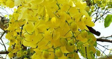 《台中景點》中興大學旁下起黃金雨,夏日限定阿勃勒開花囉!