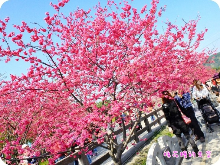 fb9e54284a2ae060969f6ab76a1392e0 - 台中泰安派出所櫻花季2019更新~快趁228連假來台中賞櫻花!