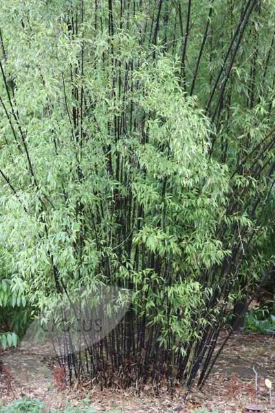 Tall Bamboo Plants Uk