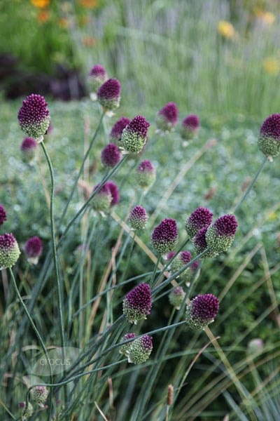 Buy Round Headed Leek Bulbs Allium Sphaerocephalon 299 Delivery By Crocus