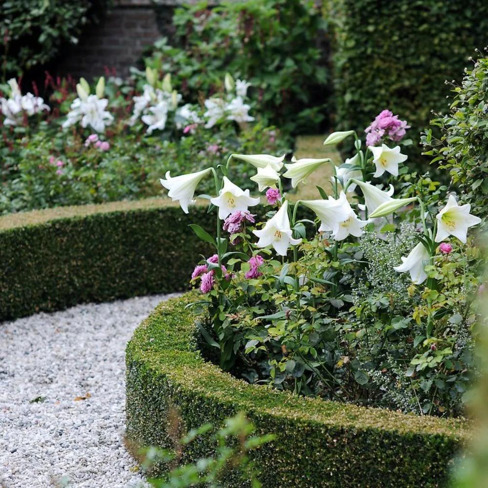 Buy Easter Lily Bulb Lilium Longiflorum White Heaven PBR
