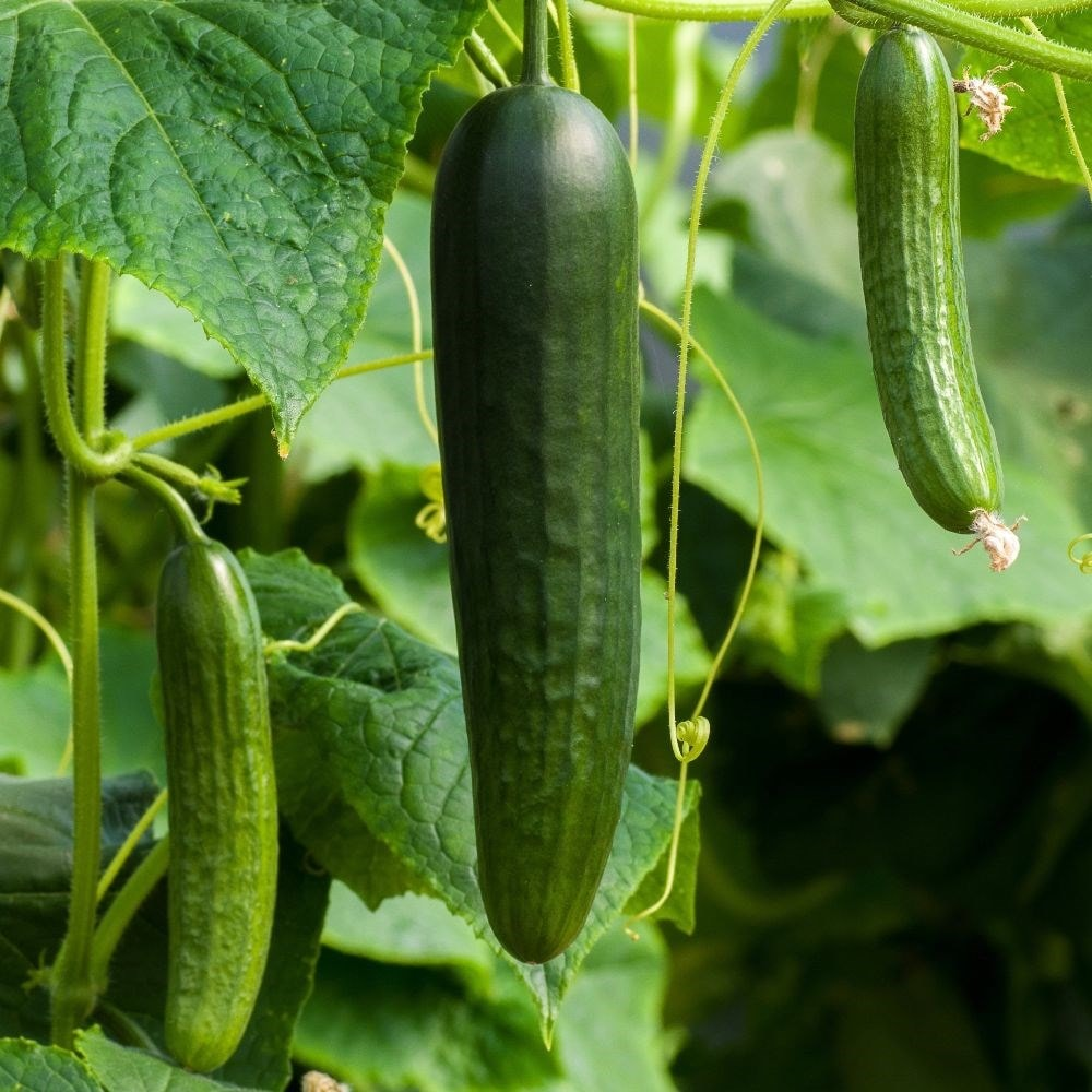 Buy Cucumber Cucumis Sativus Burpless Tasty Green Cucumber Burpless Tasty Green F1 199
