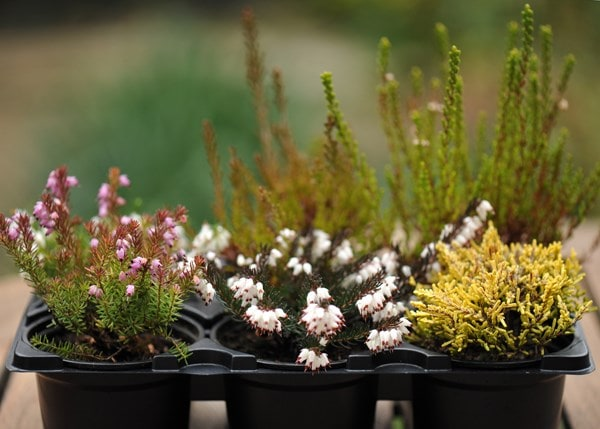 Buy Heather Collection Heather 6 Mixed Heathers 2097