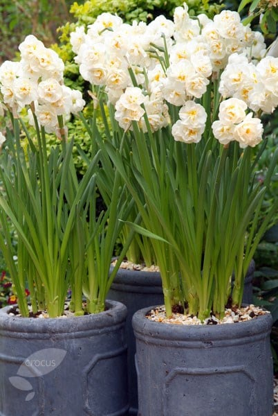 Buy Double Daffodil Bulbs Narcissus Bridal Crown 499 Delivery By Crocus