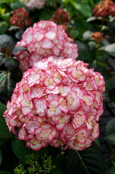 Buy RHS Chelsea Flower Show Plant Of The Year 2014