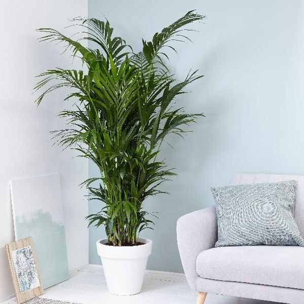 Buy Office Large Houseplants Delivery By Waitrose Garden