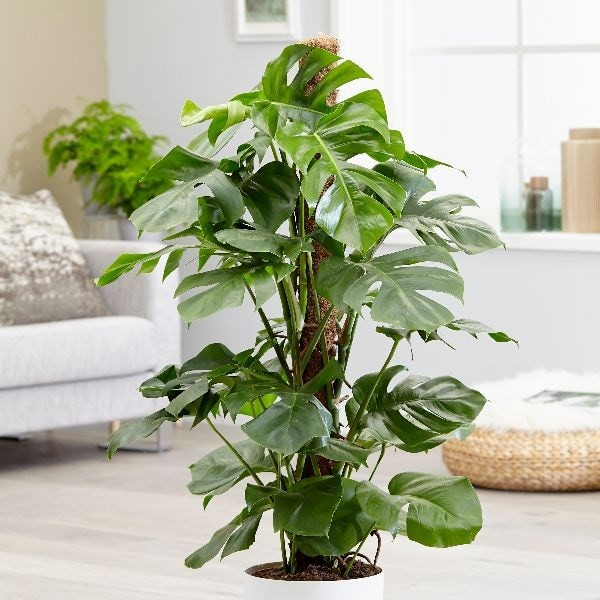 Buy Extra Large 1 2m Swiss Cheese Plant Syn Mostera Pertusum Monstera Deliciosa 99 99 Delivery By Crocus
