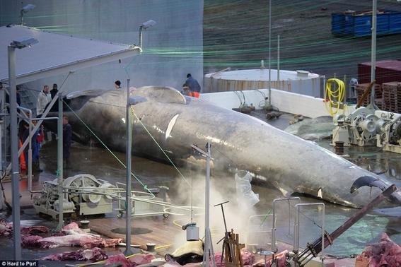 caza de ballenas islandia cazador kristjan loftsson 1