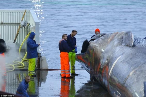 caza de ballenas islandia cazador kristjan loftsson 2