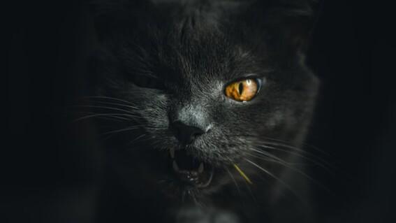 gatos negros sacrificios halloween