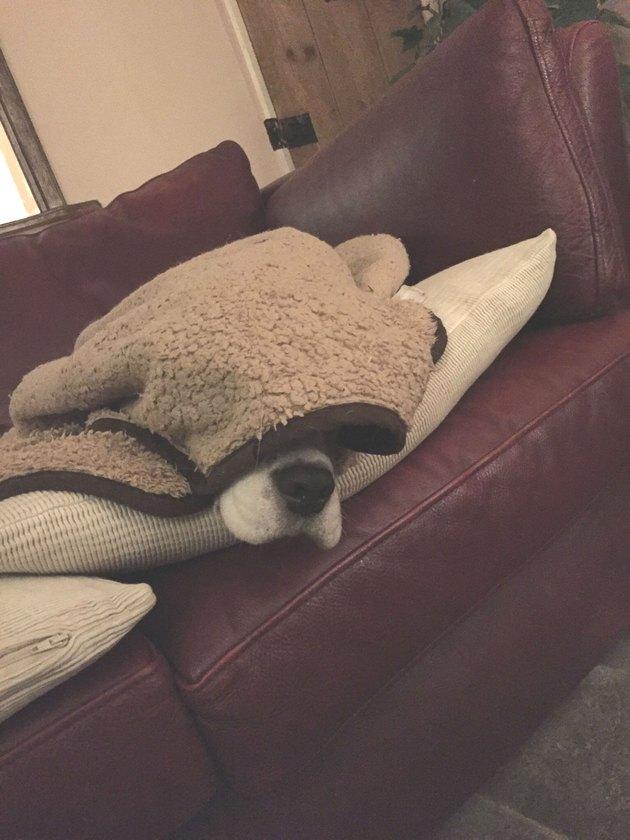Sleeping dog dozes under blanket Dogs in blankets