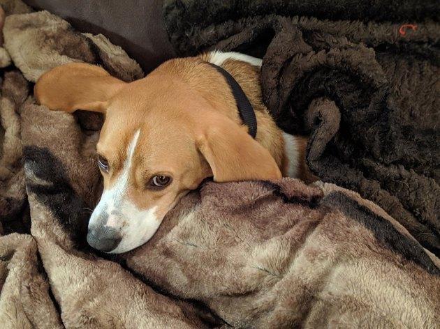 dog sleeps under fuzzy blanket