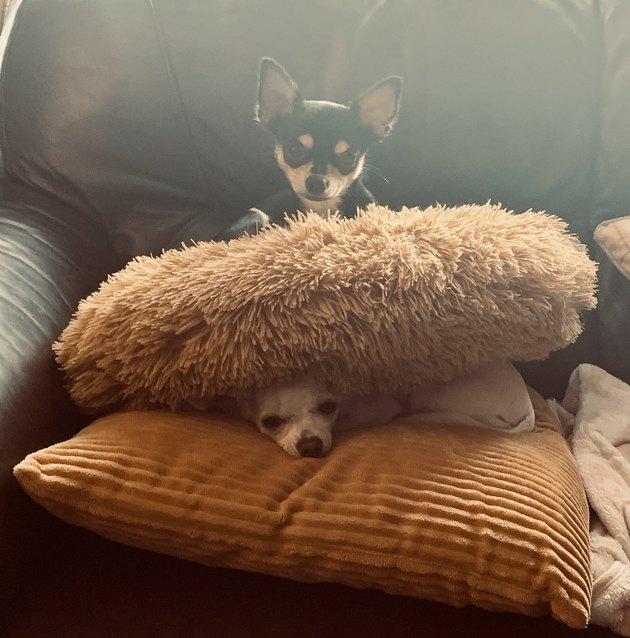dog sleeps on other dog sandwiched between blankets