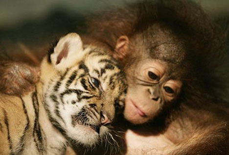 Baby Orangutan and Baby Tiger Rescued in Indonesia