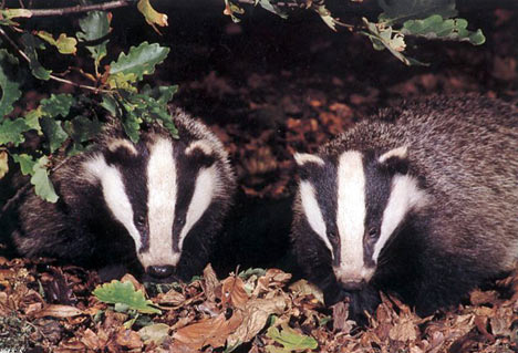 Cute Badgers!