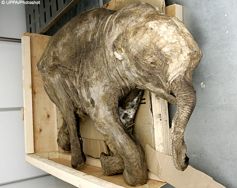 Preserved baby mammoth