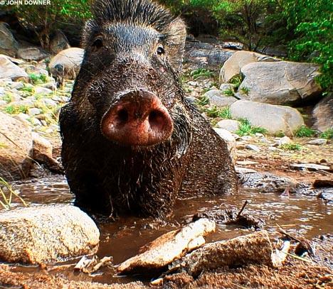 wild boar jungle