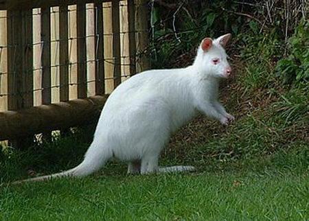 Albino Kangaroo