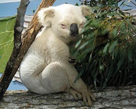 Albino Koala Bear