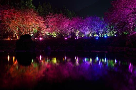 Spectacular View From Aboriginal Cherry Blossom Festival
