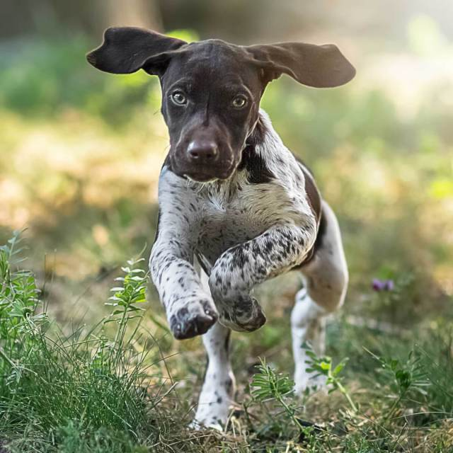 English Shorthaired Pointer