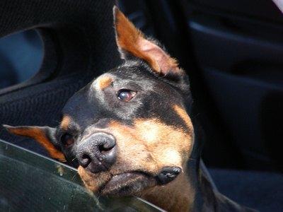 Calming a Hyper Dog in the Car thumbnail