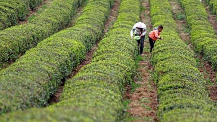 Ren nació en Guizhou, una zona rural de China donde muchos de sus habitantes viven de la recogida de té.