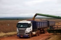 Caminhões de transportadora terceirizada fazem o transporte do grão da lavoura até os fornos de secagem