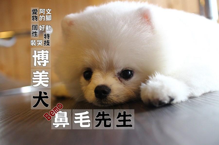 寵物毛小孩 火鍋店的毛茸茸博美店狗 台南市北區 博美犬-鼻毛先生Bemo-湧日式涮涮鍋